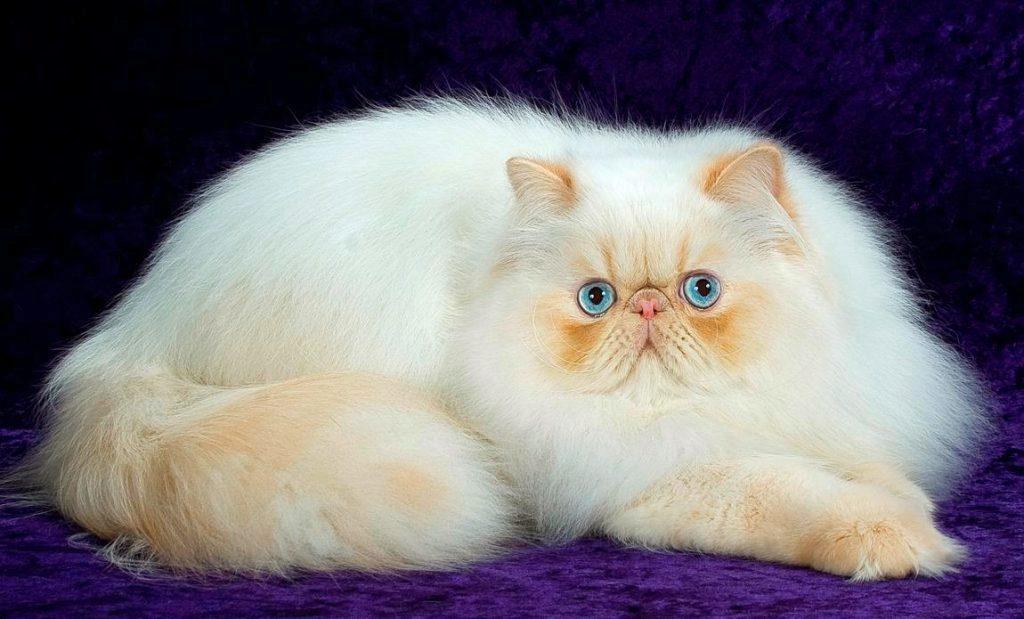 персидский кот белый