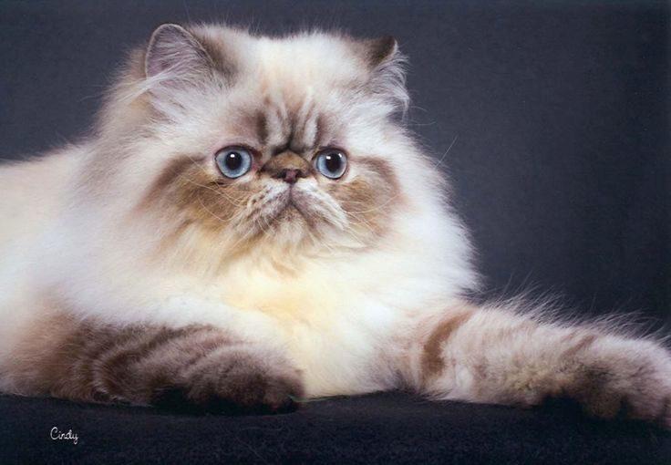 персидский пушистый кот