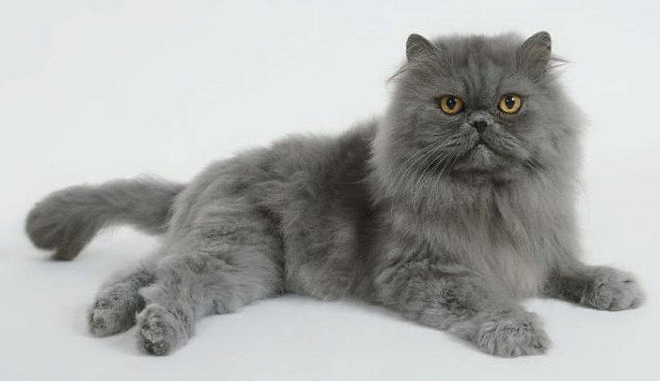 голубой персидский кот