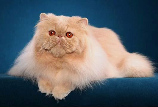 рыжий, красный перс кот