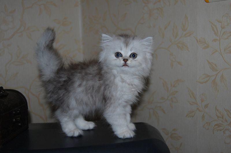 персидский котенок шиншиллового окраса
