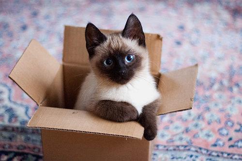 найти сиамского котёнка