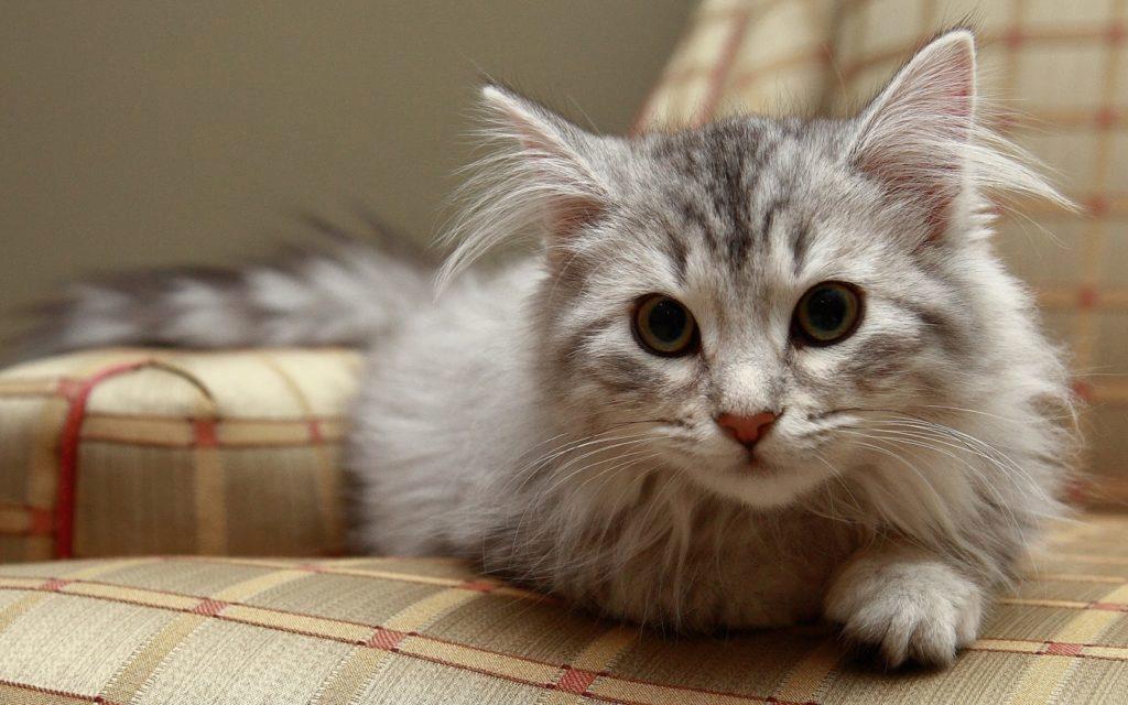 сибирская молодая кошечка
