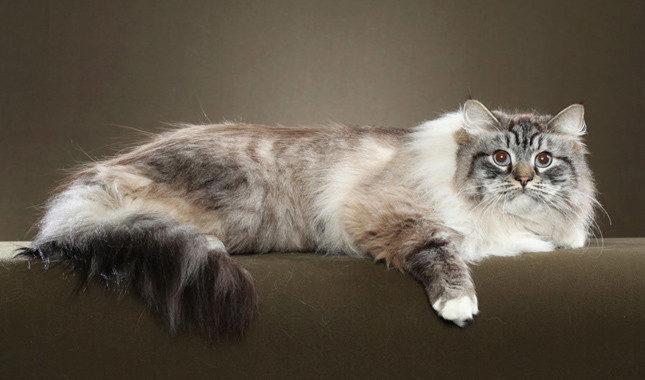 сибирская порода кошек пушистая