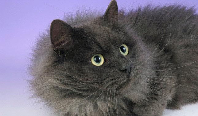 сибирская кошка окрас брид