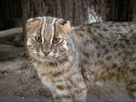 иримото японский кот с большими глазами
