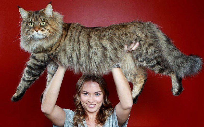 самая большая домашняя кошка современности