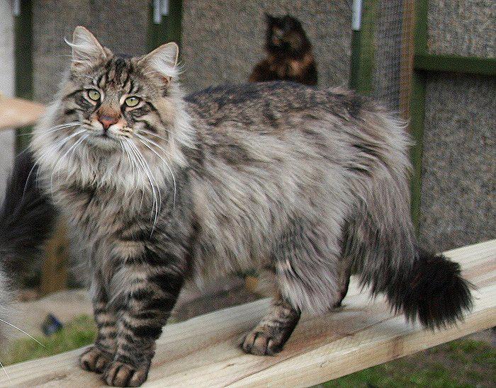 канадская лесная кошки фото порода