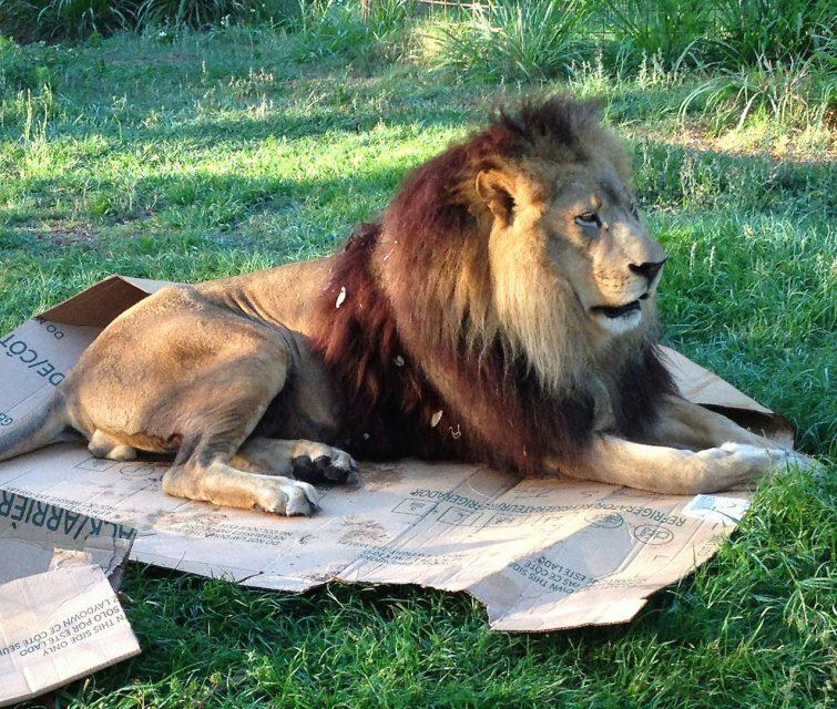лев залез в коробку