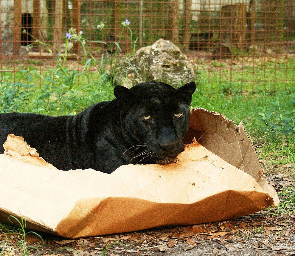 пантера в коробке