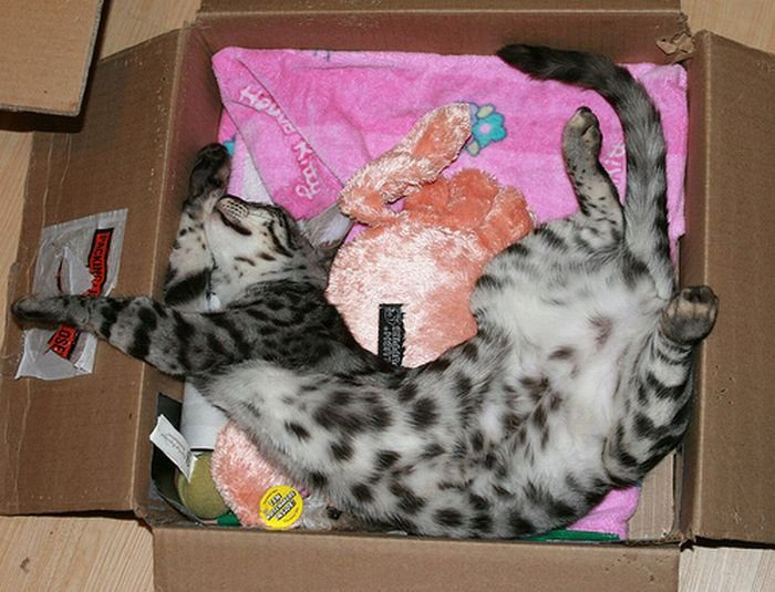кошка спит в коробке с игрушками