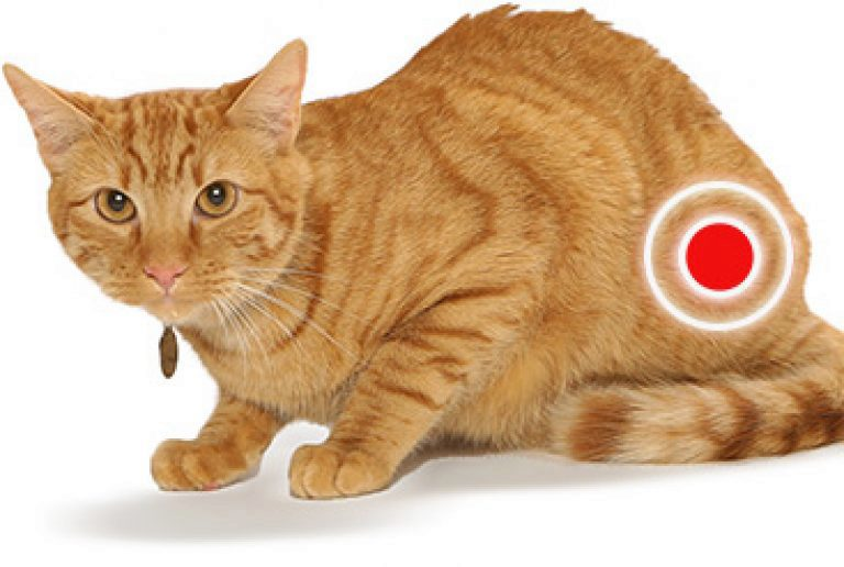 Recurrent cystitis in cats