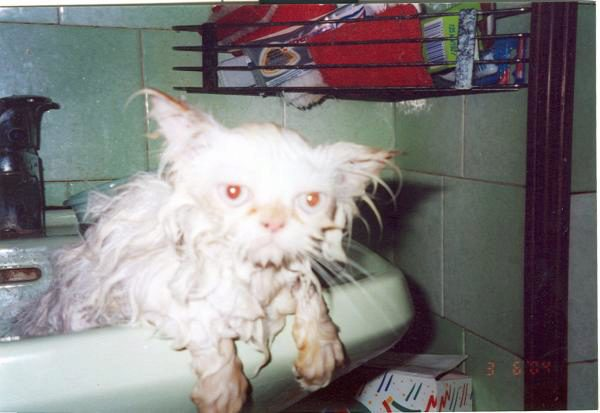 мокрый пушистый кот в раковине