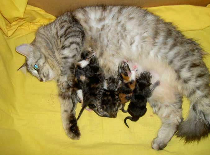 Как рожают кошки: как понять, что процесс начался, как помочь питомцу и принять роды в домашних условиях