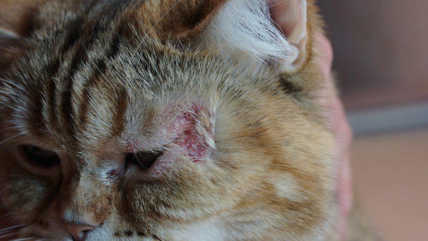 лечим мокнущую экзему у кота