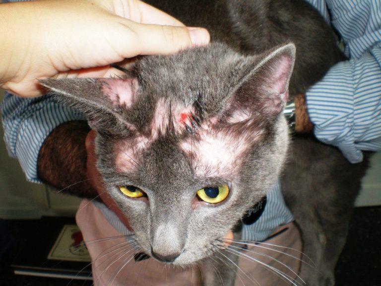От чего лишай у кошки в домашних условиях 237