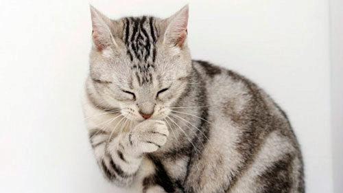О причинах рвоты у кота