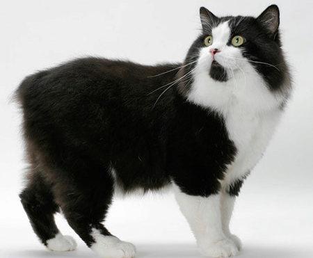 черно-белый кот мэнкс