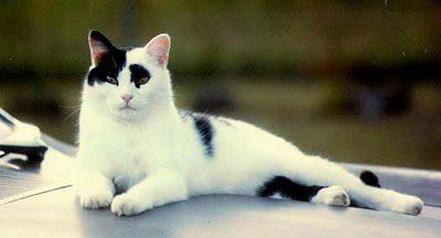 кот арлекин