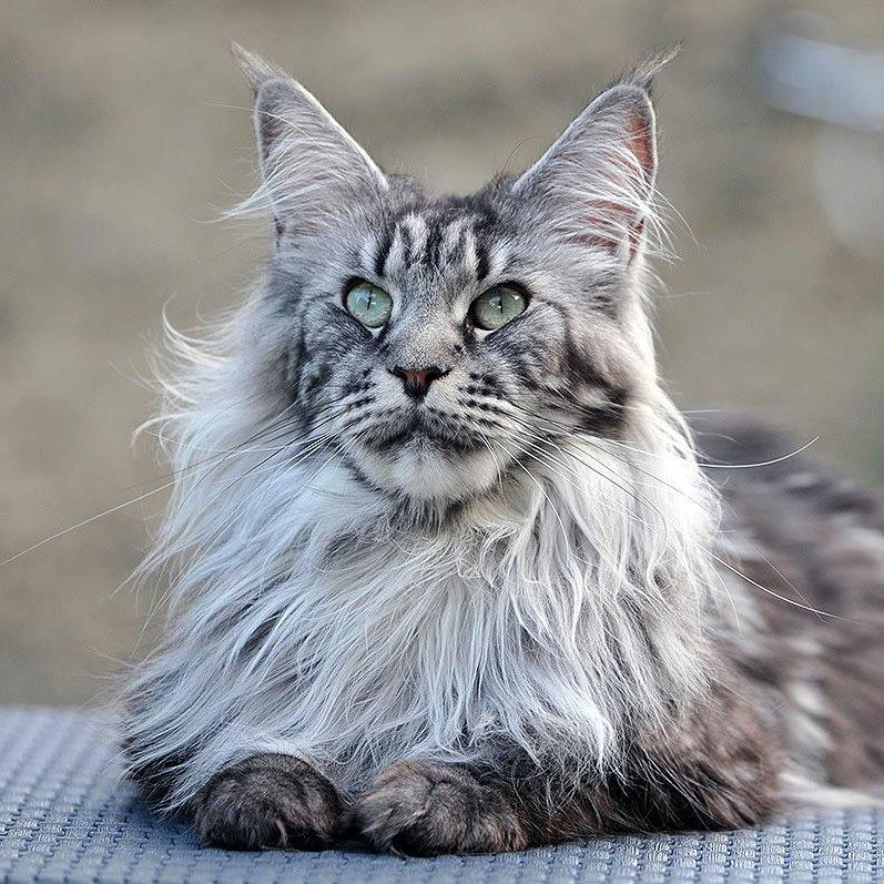 мейн-кун кот