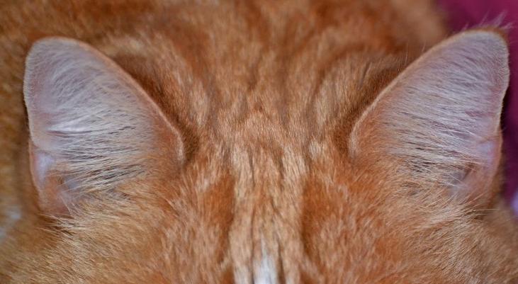 чистые уши у кошки