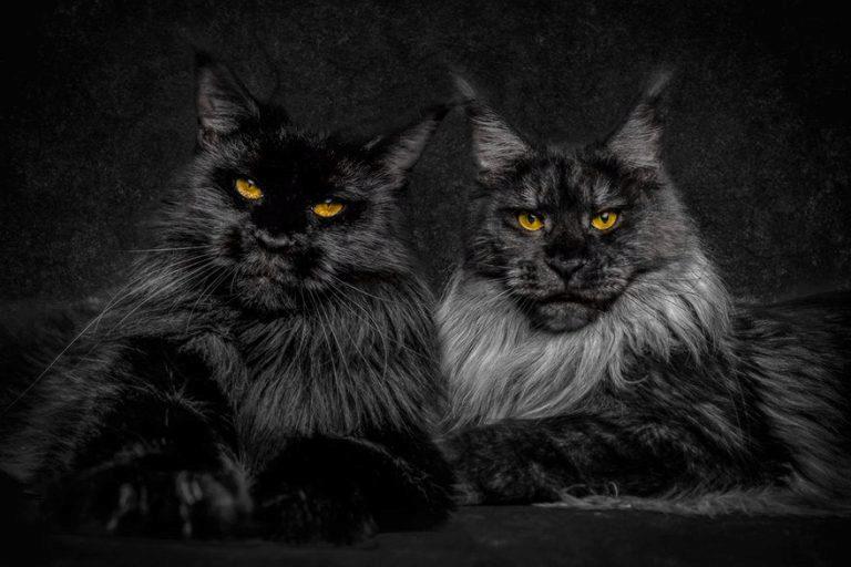 черные мейн-куны