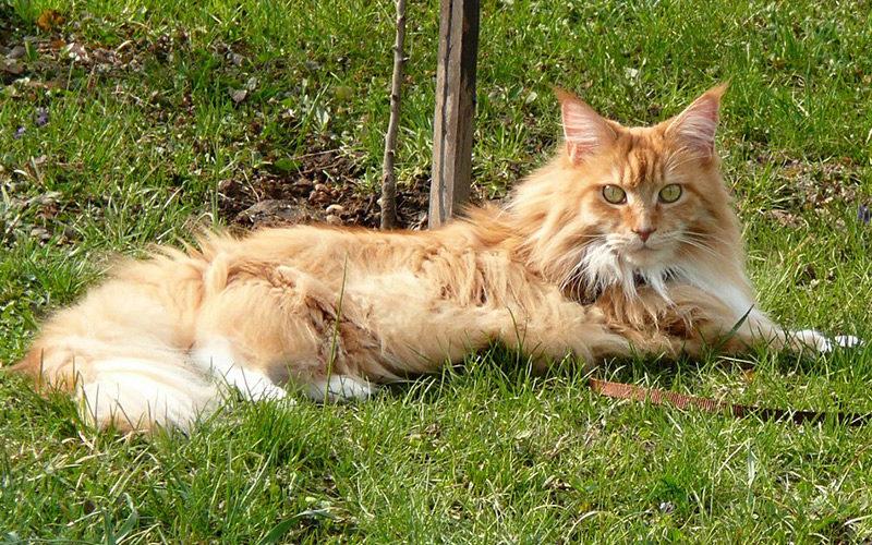 Кошки породы мейн-кун, домашние гиганты