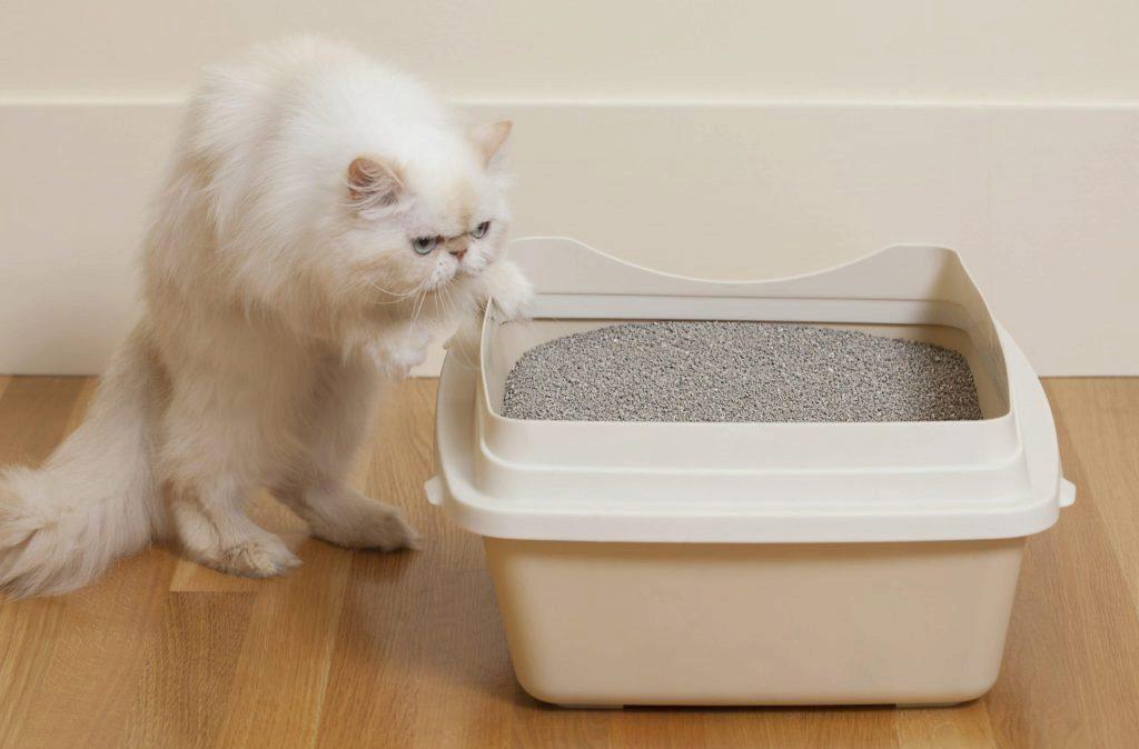 белый кот изучает лоток
