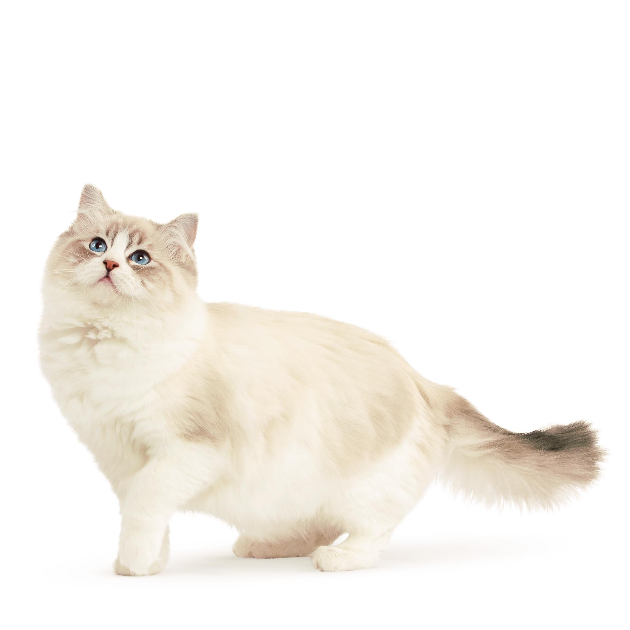 Стрижка кошек. Bсе породы кошек, которые нуждаются в               груминг – салонe.