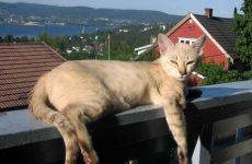 О породе кошек австралийский мист