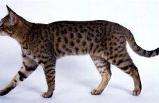 О калифорнийской сияющей кошке