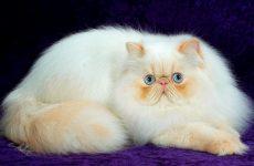 О персидской породе кошек